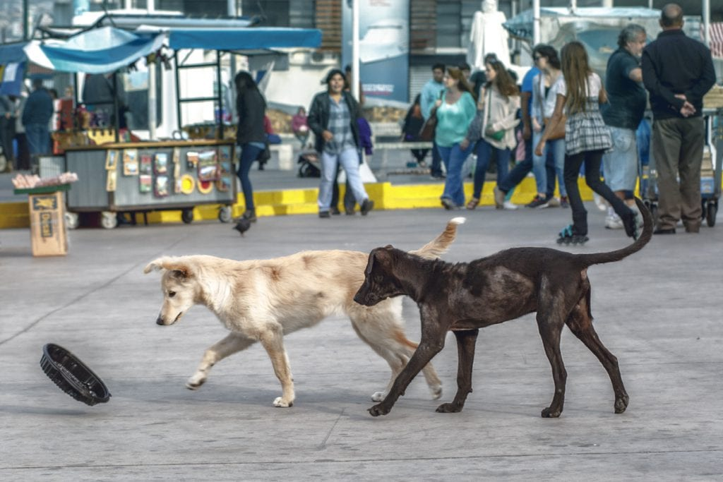 Stray Dogs Playing with a Container