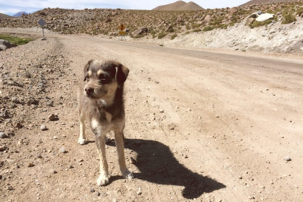 Stray Dog in Atacama