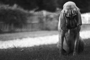 photo of a sad bloodhound