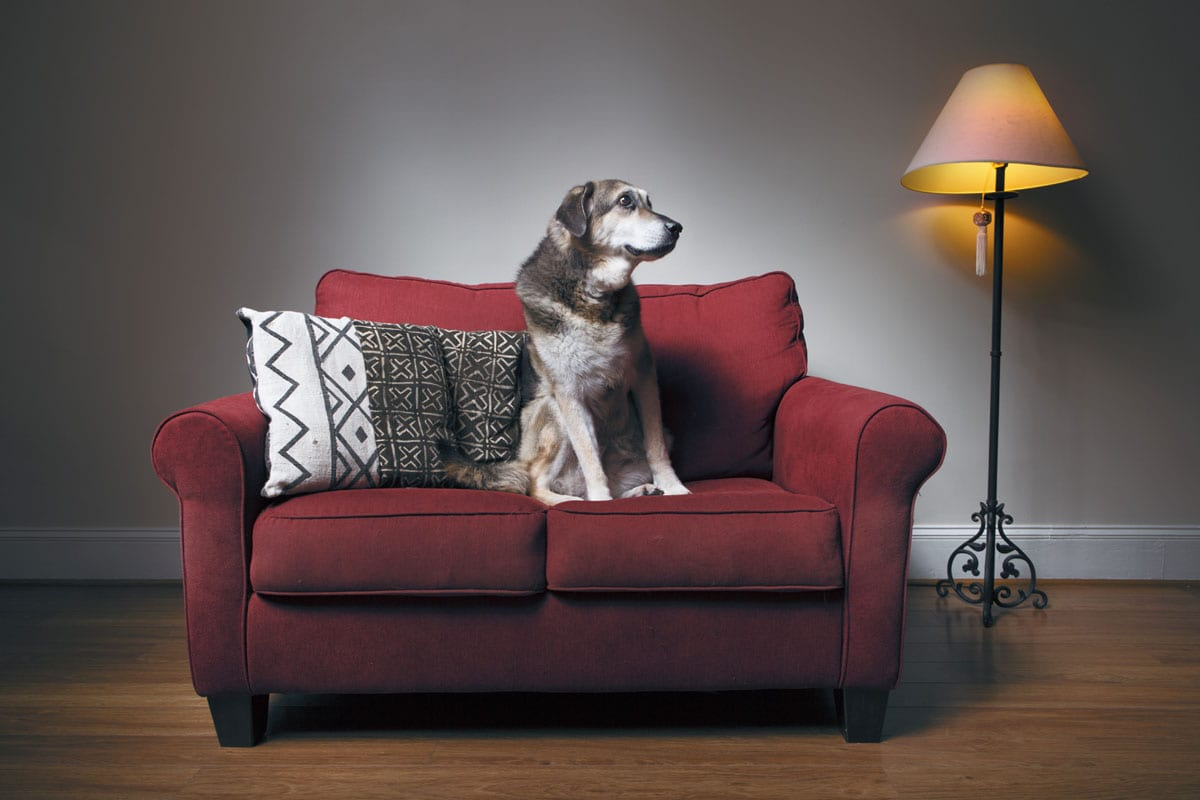 Photo of a senior dog sitting on a couch.
