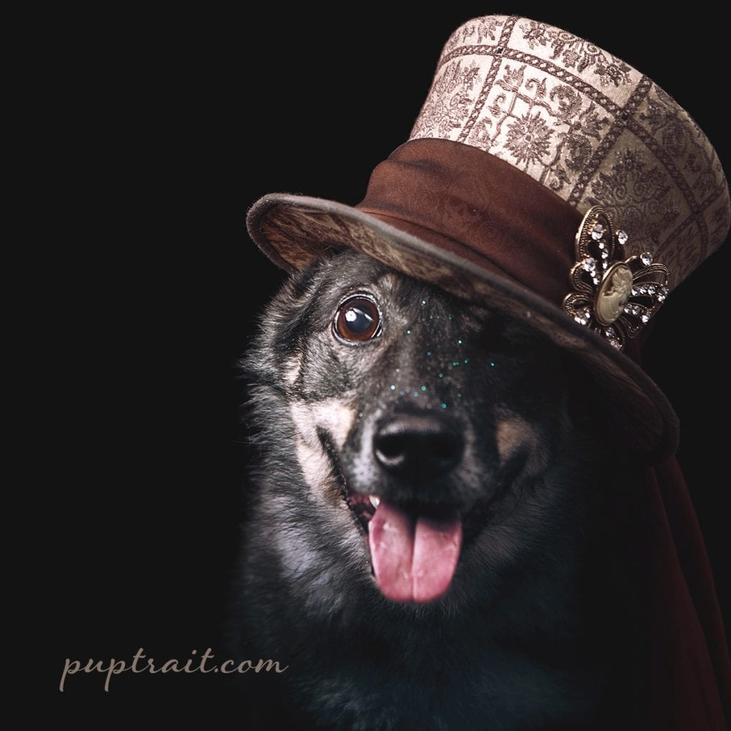 dog photo of a border collie wearing a brown top hat