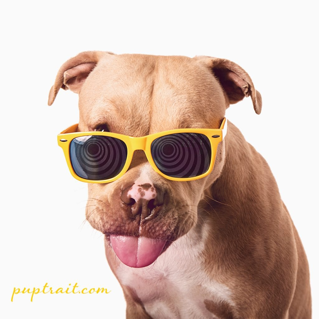 dog photo of a happy pitbull sticking its tongue out wearing yellow sunglasses