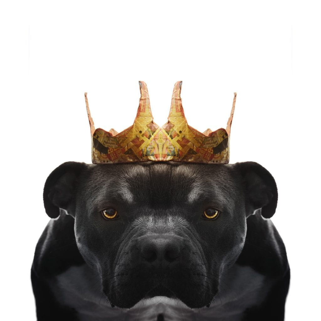 Pitbull Portrait of the King from Paper Hats