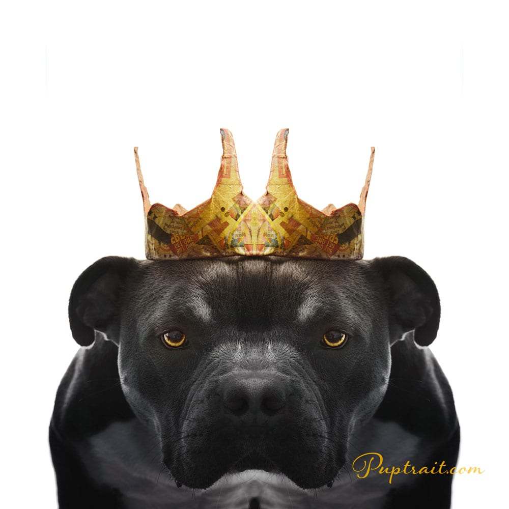 a dog photo of a serious looking black pitbull bulldog from paper hats