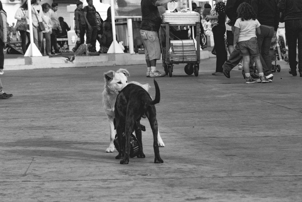 Photo of street dogs playing with a dish in Valparaíso. The dog picture is black and white, and features a black lab and yellow lab mix strays having fun in the street.
