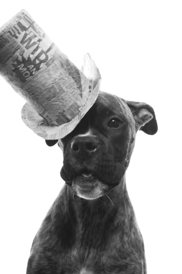 A boxer puppy wearing a paper tophat at a jaunty angle