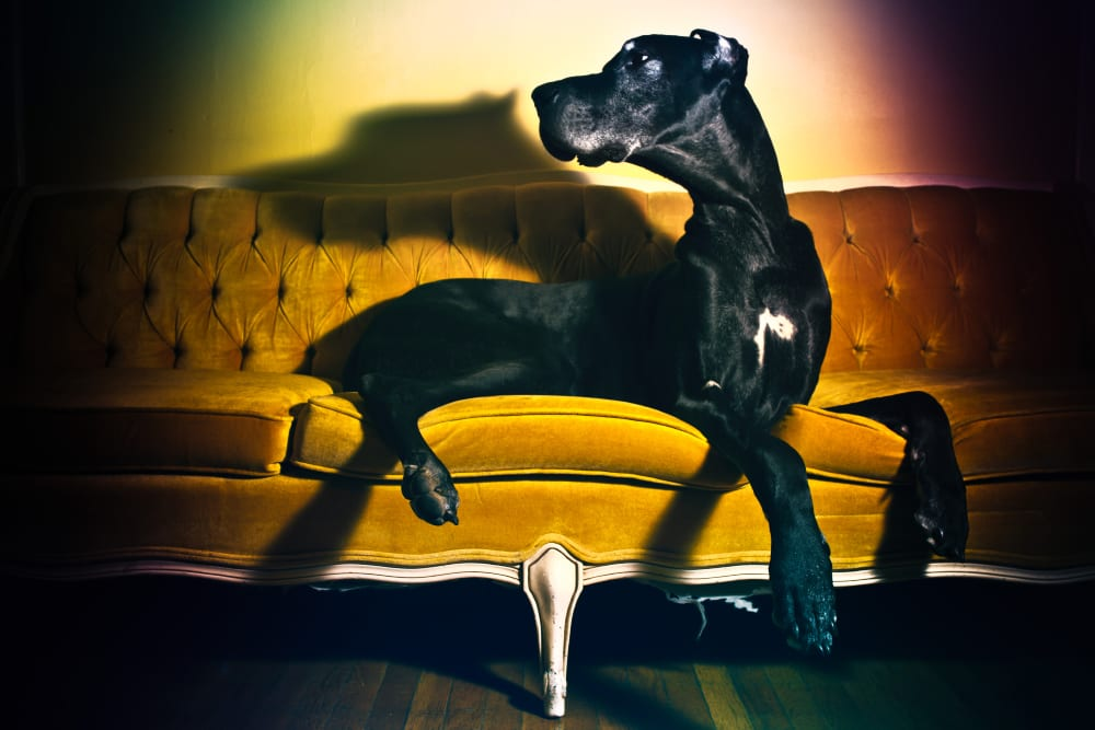 A large black dane dog laying on a couch