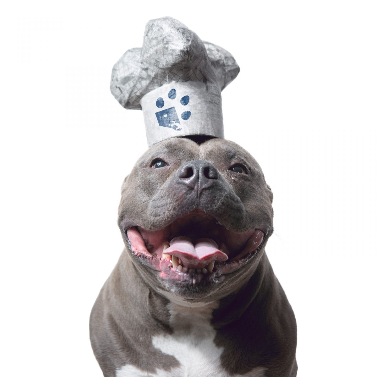 smiling pitbull wearing a white chef hat