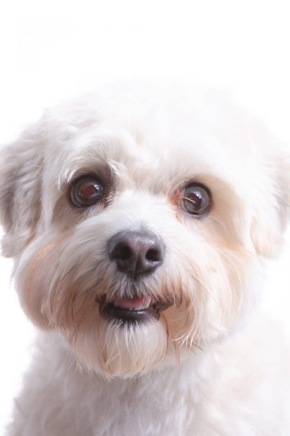 Photo of a white furred house mix.