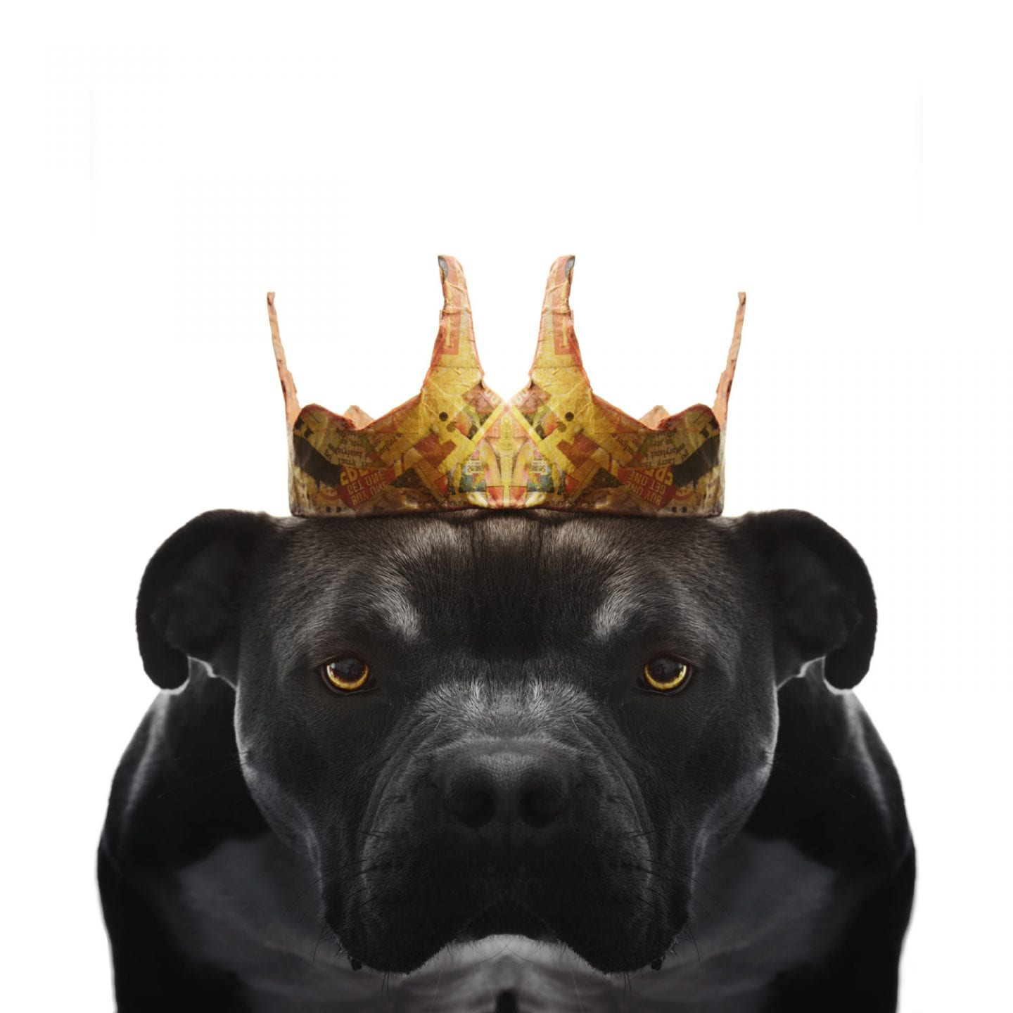 portrait of an angry black bulldog wearing a golden crown