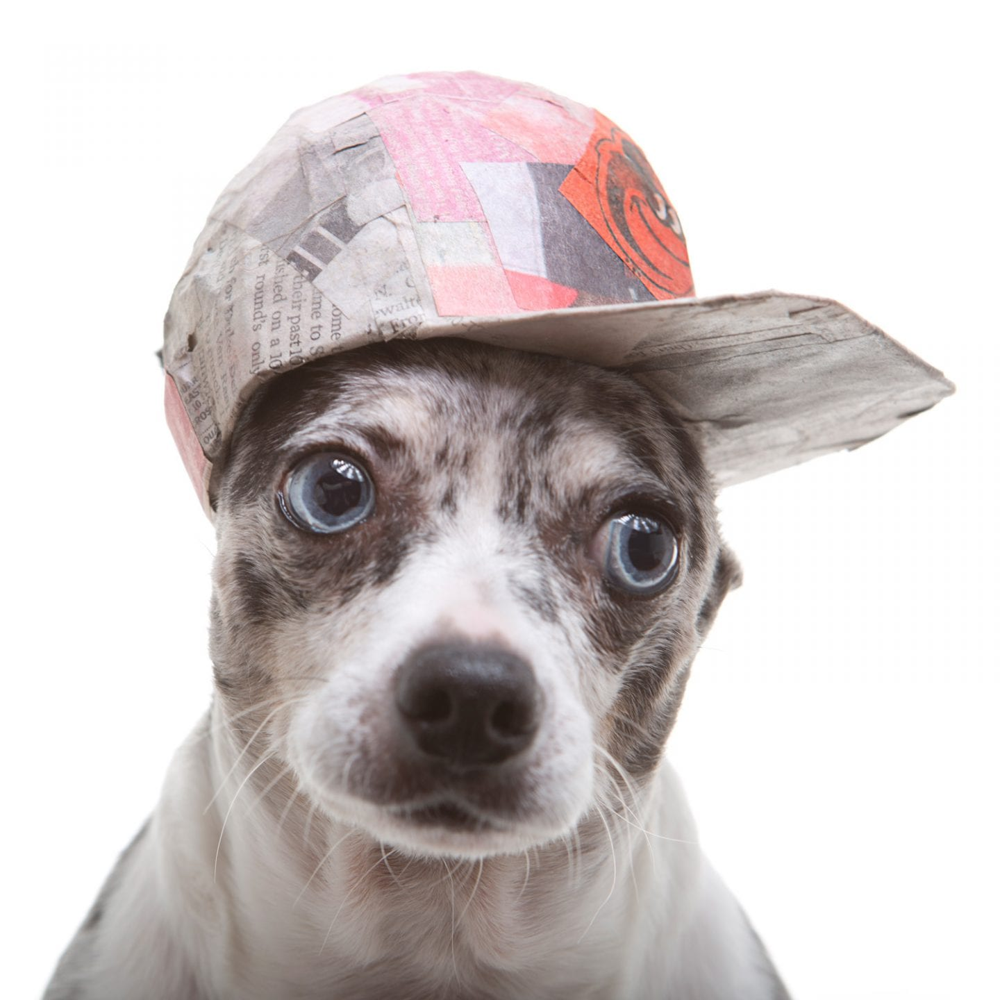 Portrait of a cute dog wearing a flatback Orioles hat