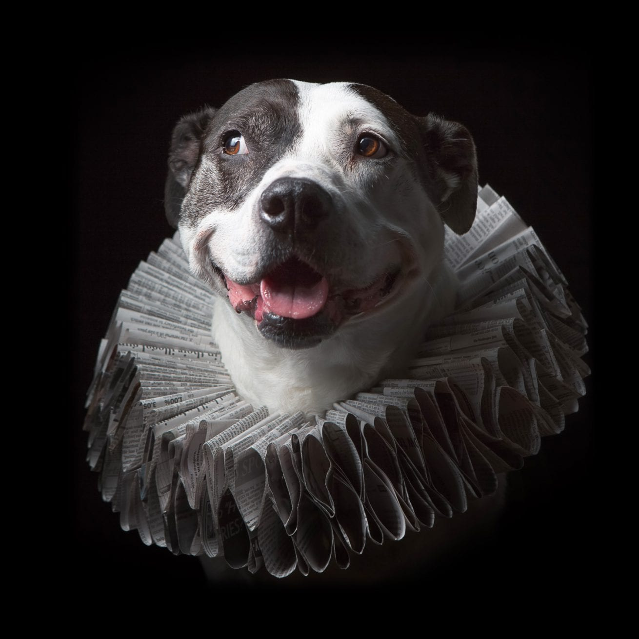 smiling piebald pitbull brindle wearing a Elizabethan style ruff collar