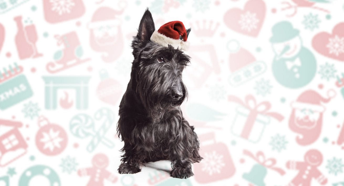 Puppy Photo for Christmas Gift of Scott Terrier wearing a Red Stocking Cap Santa Hat