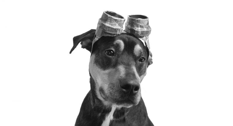 A cute puppy photo from Baltimore, Maryland dog photographer, the Puptrait Studio, featuring a rottweiler / doberman pinscher mix breed dog wearing Paper Hat goggles made from paper mache