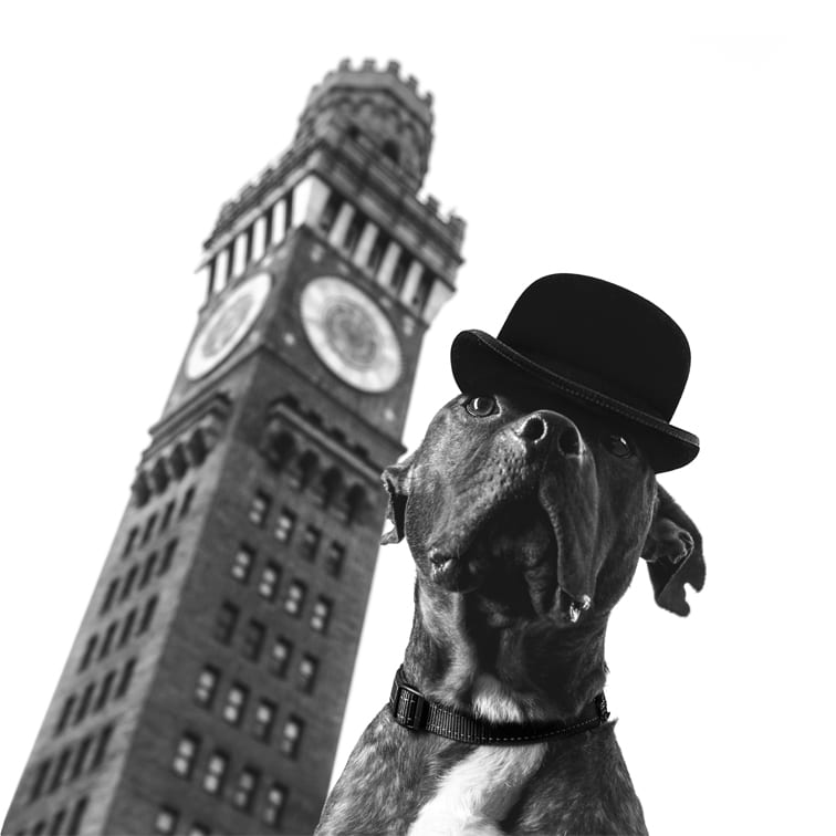 A pitbull rescue dog wearing a bowler cap in front of the Bromo Selzter Tower in the Inner Harbor in Baltimore
