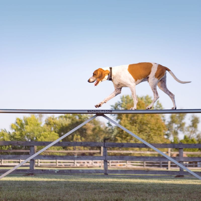 dog agility course portrait with a fox hound on a farm