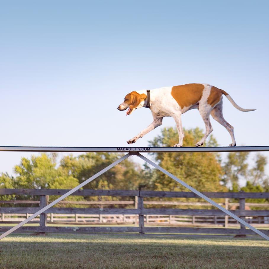 dog agility course portrait with a fox hound on a farm