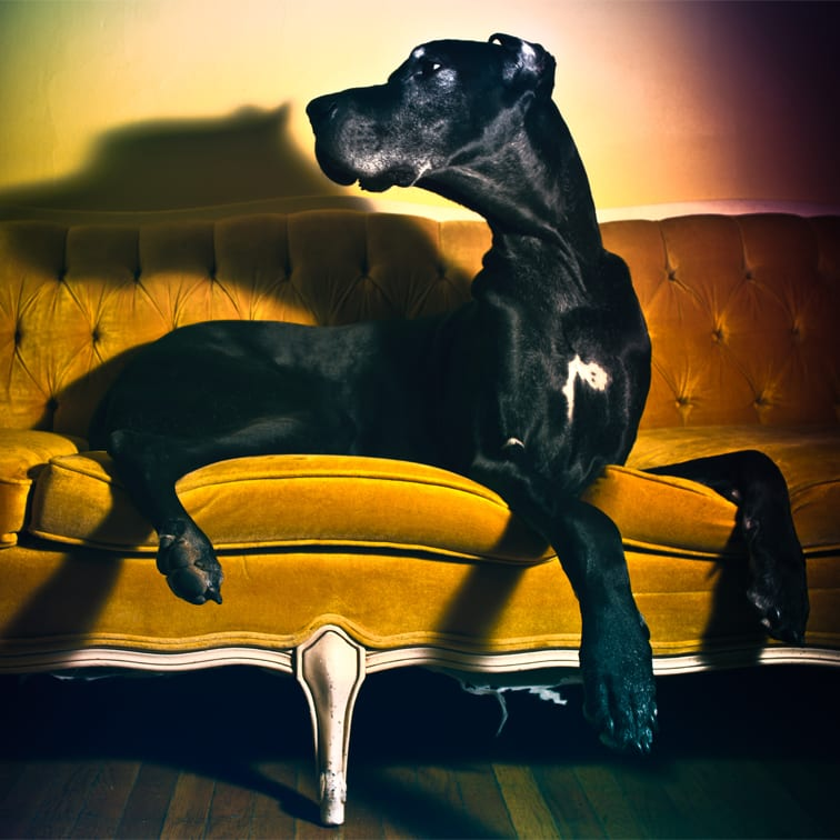 a portrait of a large black great dane on a yellow couch photographed with a 20mm lens