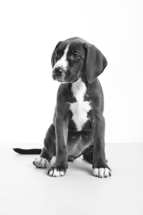 Black and white dog photos of an adorable and cute pit bull puppy on a white background. Photographed at the Puptrait Studio in Baltimore. Maryland's most creative pet photography studio.