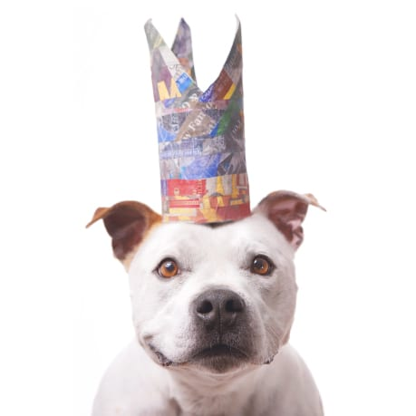 Exclusive dog costume design from the paper hats collection. This image features a white staffy wearing a colorful blue and red crown made from paper mache and news paper..