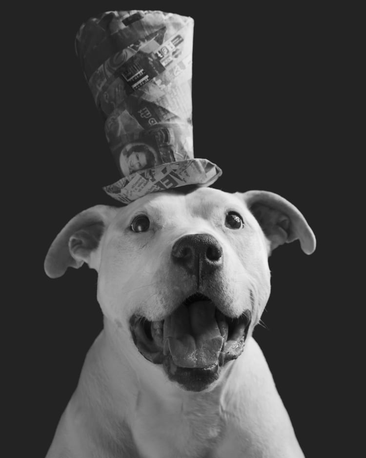 A black and white photo of a staffy wearing a tall top hat. His eyes sparkle almost like an old timey Steam Boat Willy cartoon.
