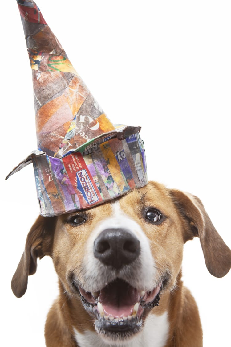 Photo of Boggle (Boxer Beagle Mix) wearing a colorful paper mache dunce cap modeled after Pablo Picasso's bronze sculpture