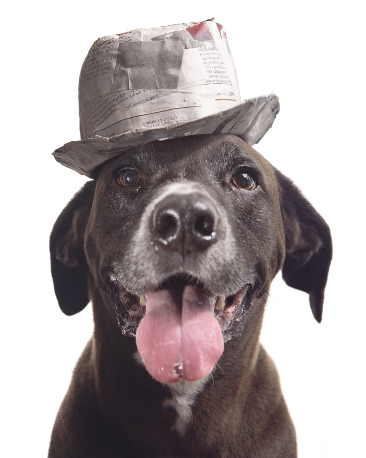 Photo of a medium sized brown dog mixed breed mutt wearing a papermache trilby. He looks like he's got a hot gambling tip on the next horse at the track.