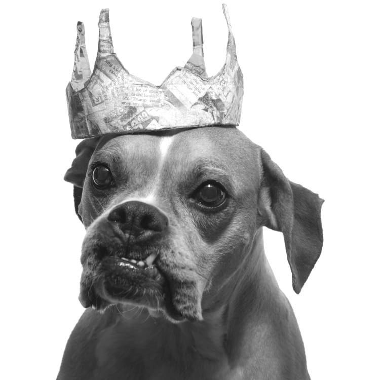 A black and white photo of a senior boxer dog wearing a paper crown.