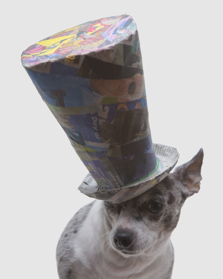 A tiny chihuahua wearing a huge giant tophat. The hat is nearly twice the size of the dog.