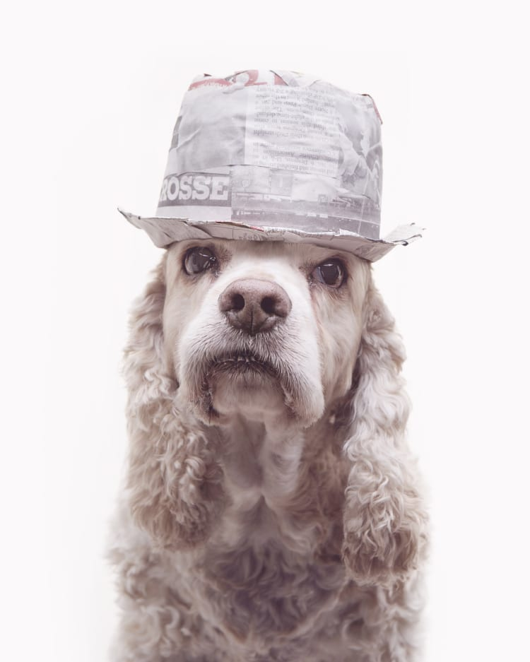 Photo os a cocker spaniel wearing a trilby. The dog looks remarkably like Kid Rock.