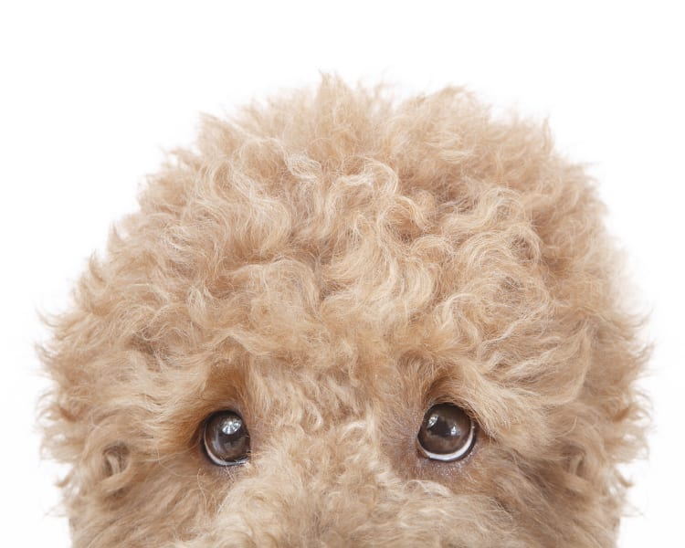 A closely cropped colorful photo of a redish yellow fluffy golden doodle. The dog is peaking his head just inside the frame. Only his fluffy pooffy crown is visible in the dog photo.