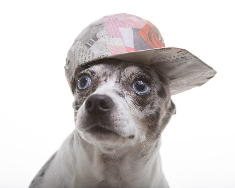 Photo of a spalted chihuahua wearing a flatback Baltimore Orioles baseball cap made out of papermache.