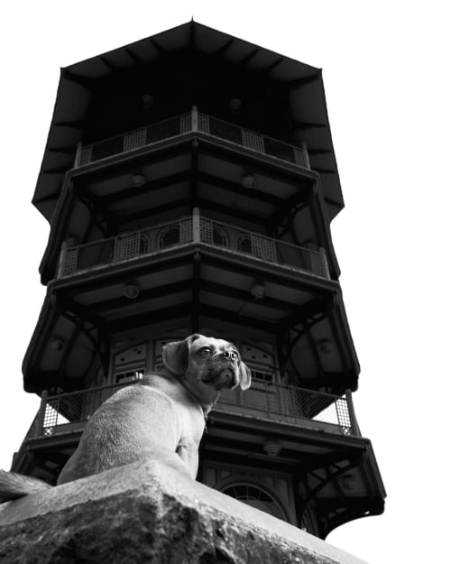Example of an environmental or on location dog portrait. This photo features an adorable puggle sitting in front of the Patterson Park Pagoda in Baltimore, Maryland. Captured by the Puptrait Studio, a Baltimore based professional dog photographer.