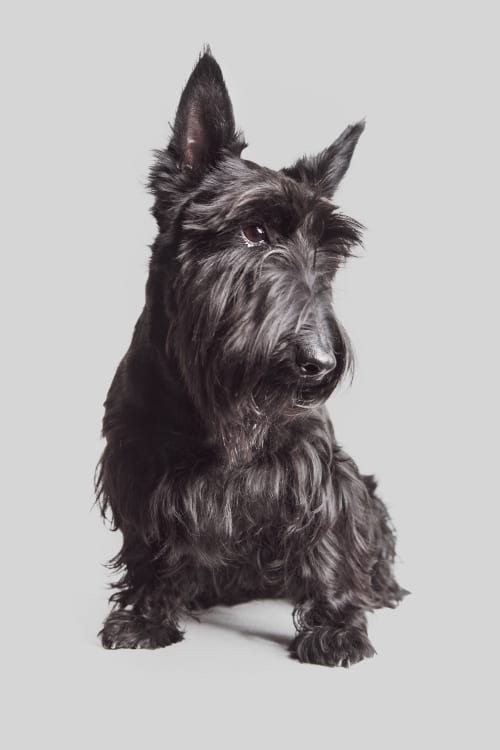 An example photo of a dog portrait capturing a Scottish Terrier during a studio session at Baltimore's best dog photography studio, the Puptrait Studio.