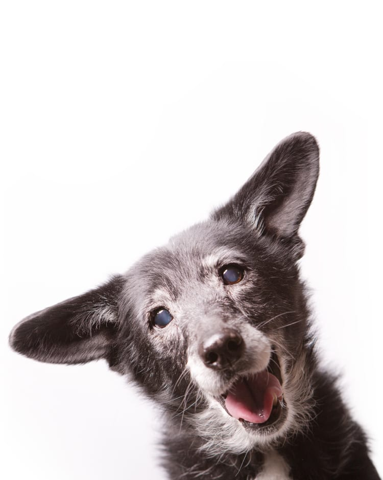 Photo of an adorable senior dog with very pretty cataracts glowing a soft blue.