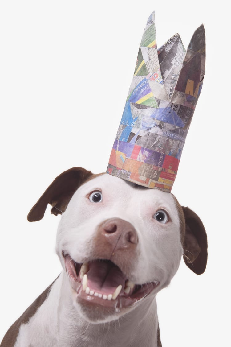 Photo of an excited or surprised staffy wearing a very tall and colorful crown.