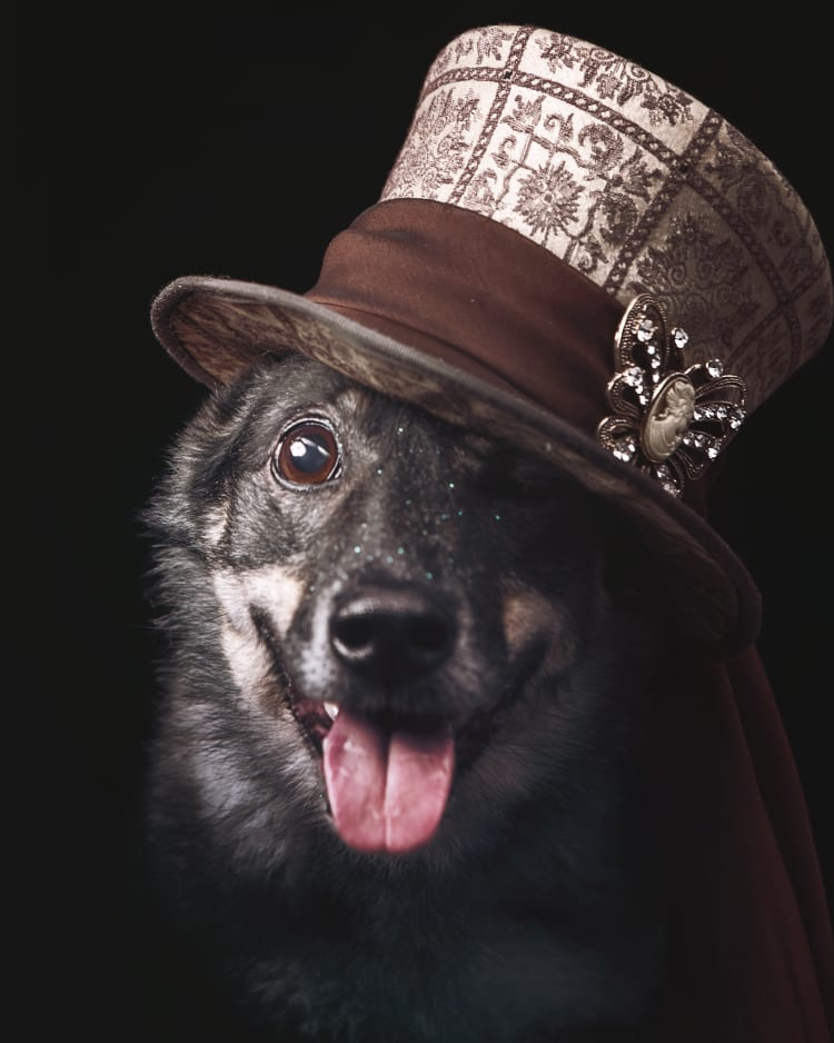 A black background photo of an agility champion dog wearing a lacey tophat wrapped in an ornate ribbon.