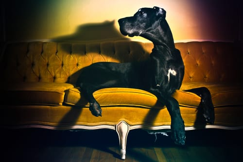 Photo of a black great dane on a gold couch from an in home portrait session in Baltimore.