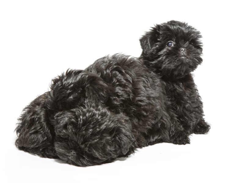 Photo of an adorable pile of cute Affenpinscher puppies arranged in a way that they look like a single dog.