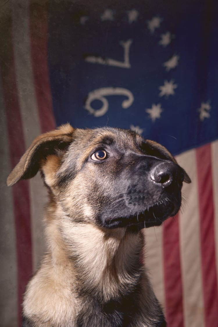 Photo of a cute but very serious looking German Shepherd puppy infront of a vintage antique 76 American flag.