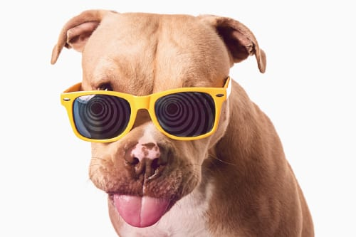 Example of a headshot style studio dog portrait featuring a tan pit bull dog rocking yellow sunglasses in front of a white damless background. Captured at the Puptrait Studio in Baltimore. A dogs only photo portrait studio.