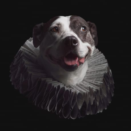 Creative dog portrait of pitbull wearing an Elizabethan style ruff collar captured in our pet friendly Baltimore studio location.