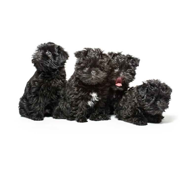 Cute photo of an Affenpinscher puppy bred in Roland Park and photographed at the Puptrait Studio in Baltimore, Maryland.