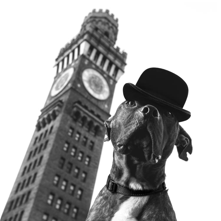 A photo of a cute brindle colored American Pit Bull mix wearing a bowler cap in front of Baltimore's Bromo Seltzer Tower near Campden Yards and the Inner Harbor