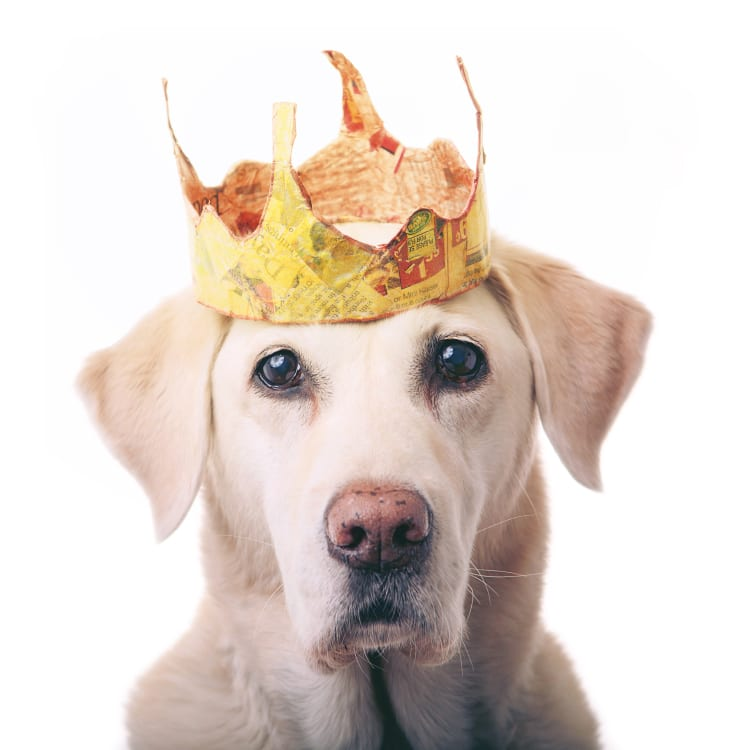Senior yellow lab looking very regal with her floof and golden crown. The crown is made from newspaper and gets its shiny yellow texture from a yellow crayon.