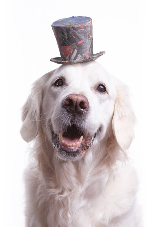 Photo of a cute and smiley English Golden Retriever wearing a colorful top hat made from newspaper clippings.