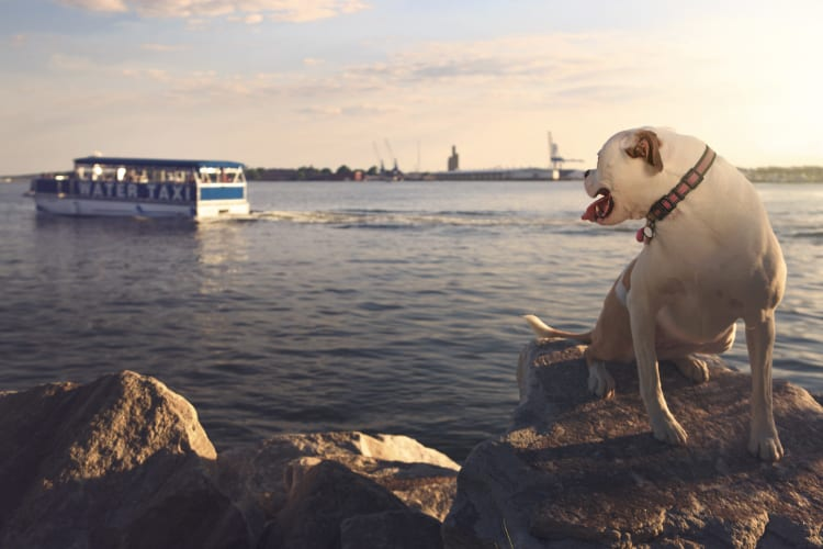 Photo of an American Bulldog at the Canton Waterfront. An older model Water Taxi floats off across the Bay in the background.