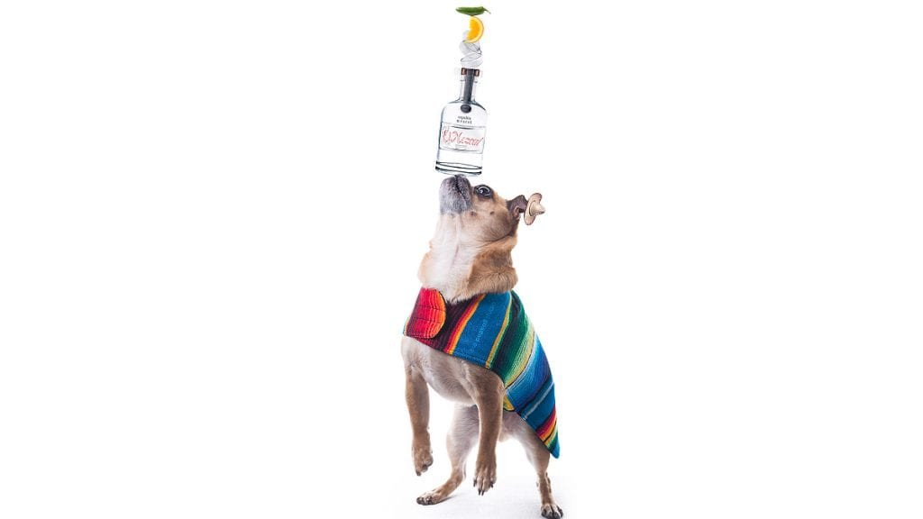 A Chugg (Chihuahua + Pug mix) wearing a poncho balancing a bottle of mezcal and three traditional cupas on its nose.