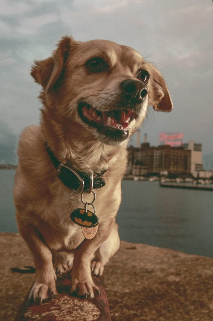 A colorful portrait of a smiling puppy against a glowing Dominos Sugar Sign overlooking the Baltimore Inner Harbor as seen from Federal Hill near the Museum of Industry and Little Havana.