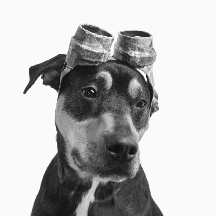 A cute doberman puppy wearing stream punk inspired goggles made from newspaper and paper mache